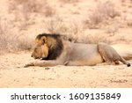 Pair Of Black Maned Male Lions...