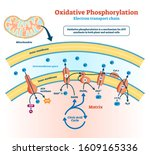 oxidative phosphorylation... | Shutterstock .eps vector #1609165336