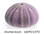 Small photo of skeleton of sea shell violet echinoidea isolated on white background- close up