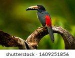 Small toucan Collared Aracari, Pteroglossus torquatus, bird with big bill. Bird sitting on the branch in the forest, Boca Tapada, Costa Rica. Nature travel in central America. Toucan open bill.