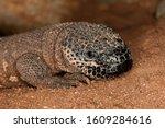 Head Of Beaded Lizard Heloderm...