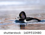 A Male Ring Necked Duck Swims...