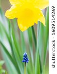 Grape Hyacinth And Daffodil ...