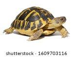 Hermann Tortoise In Close Up...