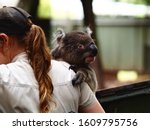Small photo of Wide-Eyed Trusting Loveable Koala Being Held & Cherished by a Keeper.