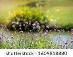 Verbena Flower  Argentinian...