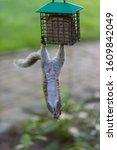 An Acrobatic Squirrel Hangs...