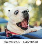 Stock photo a cute dog in a back pack in a local park 160998533