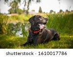 Black Labrador Retriever Dog O...