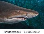 The Sand Shark Head