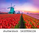 Colourful Tulips Farm And...