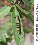 Caterpillars Of Monarch...