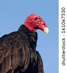 Portrait Of A Turkey Vulture  ...