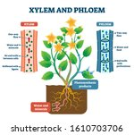 xylem and phloem vector... | Shutterstock .eps vector #1610703706