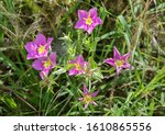 Sabatia Flowering Plant In The...