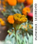 Small photo of Marigold flowers are evergreen flowers. Yellow and orange are very common but are grown in different names being similar species like Mexican marigold and targeted minutiae. Light scent and beautiful.