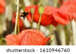 Close Up Of A Red Poppy In A...