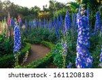 A Group Blue Delphinium Flower...