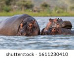 Three Hippopotamus Hippo Famil...