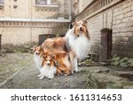 Rough Collie Dog And Shetland...