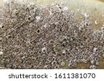 Small photo of acorn barnacle rock barnacle Balanidae
