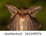 Plecotus Auritus