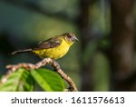 Flame Rumped Tanager  ...