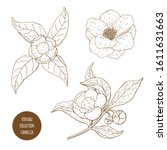 camellia sinensis flowers and...   Shutterstock .eps vector #1611631663