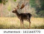 Close Up Of Fallow Deer At...