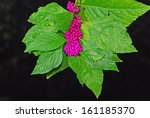 Small photo of Closeup of American Beautyberry (Callipara americana) against dark background. Plant found in East Texas in Caddo Lake State Park.