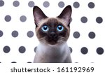 Stock photo beautiful siamese cat 161192969