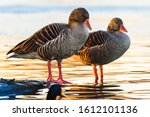 Two Greylag Goose At Shore...