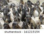 Duelmen Ponies  Wild Herd Of...