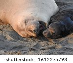 Small photo of Elephant Seals, mother and pup, San Simeon 1-5-20