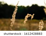 Simple Photo Of Grass Seed Hea...