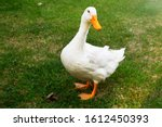 A Cute Duck Standing On The...