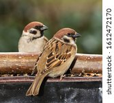 Two Tree Sparrows  Passer...