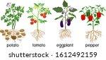 different vegetable nightshade... | Shutterstock .eps vector #1612492159