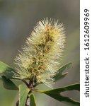 Melaleuca Viridiflora Flower In ...