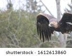 A Golden Eagle Flying...