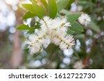 White Flower Of Melaleuca...