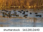 Group Of Coots On Ice On Frozen ...