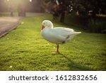 Isolate Sleeping  White Goose ...