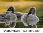 Little swans on the lake, enjoying the first rays of the sun - Kuchajda, Bratislava, Slovakia, Europe