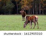 Proud Male Deer Admires Two...