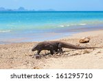 komodo dragon walking at the... | Shutterstock . vector #161295710