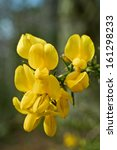 Yellow Gorse Flowers In...