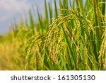 rice field   Shutterstock . vector #161305130
