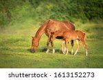 Red Mare And Foal Grazing On...