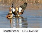 The Egyptian Goose  Alopochen...